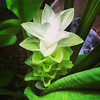 #green #white zinger #flower