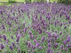 hyssopus(0.0), breckland thyme(0.0), lavandula stoechas(0.0), common sage(0.0), annual plant(1.0), lavandula dentata(1.0), flower(1.0), english lavender(1.0), plant(1.0), lavender(1.0), lavender(1.0), herb(1.0), meadow(1.0),
