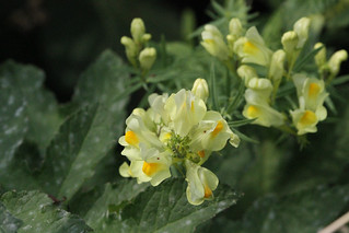 Linaria vulgaris-Common Toadflax
