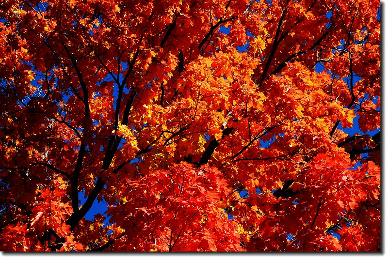 Maple in Fall, Mapleton Hill, Boulder (53)