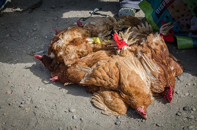 Otavalo Animal Market in Ecuador