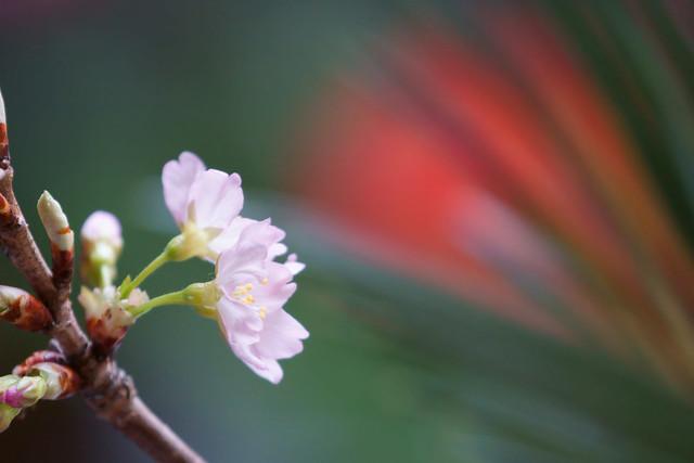 写真_それでも桜は