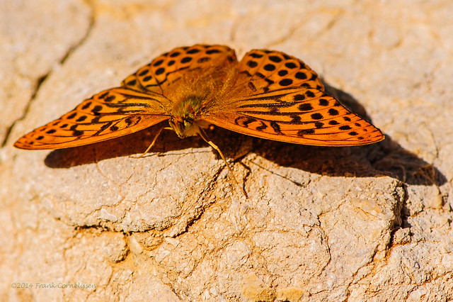 The Silver-washed Fritillary - Summer memories
