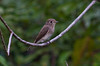 Brown-streaked Flycatcher/200th