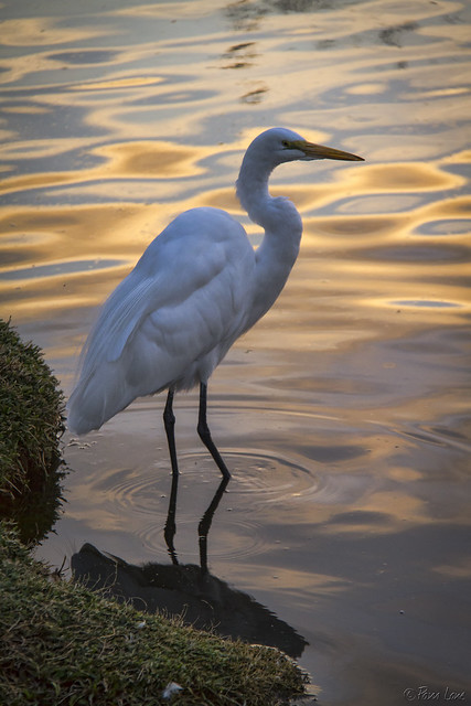 Wilderness Park egret