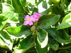 20140117_KapiolaniCC-CactusGarden_Pereskia-maybeGrandiflora_Cutler_P1630606
