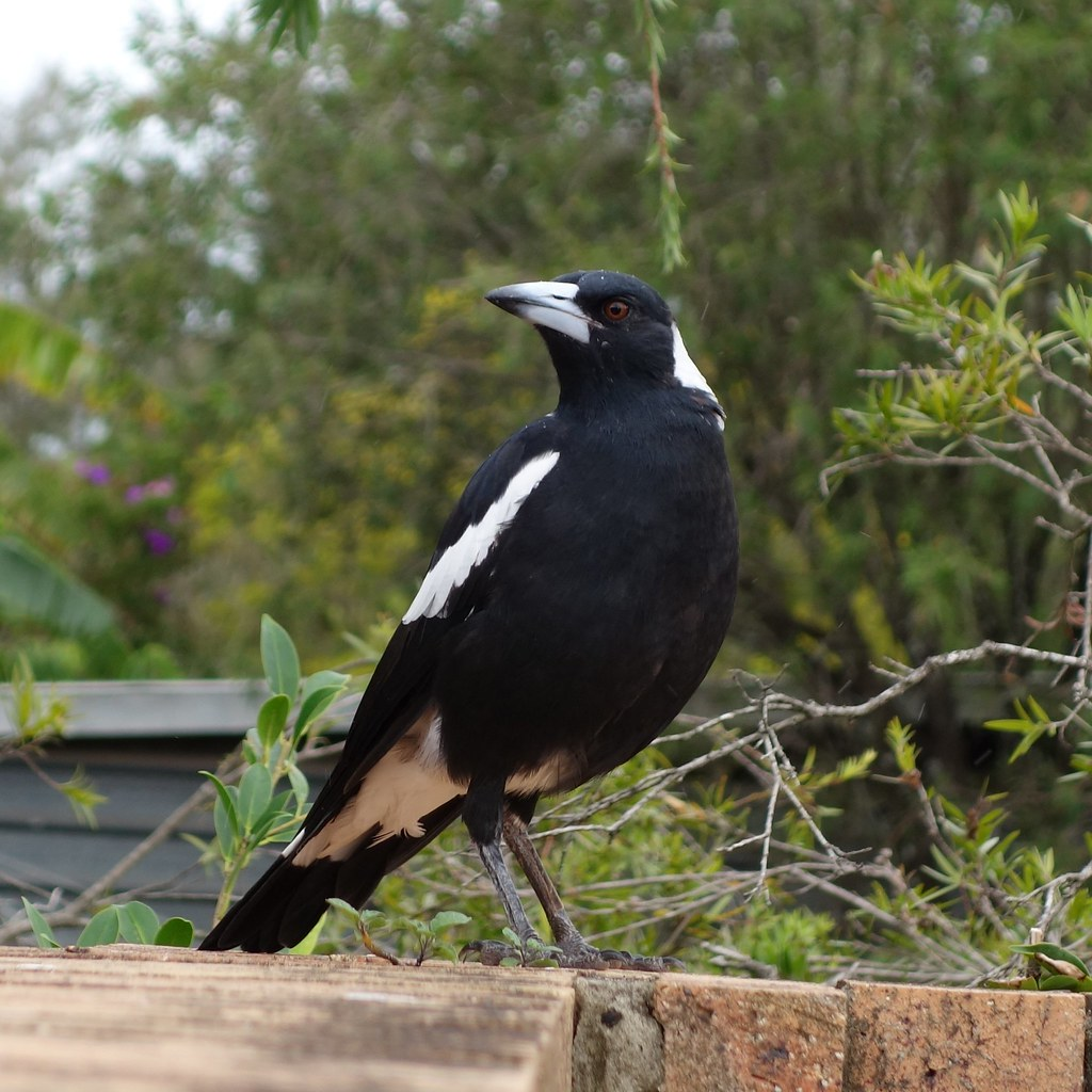 Magpies of Boondall