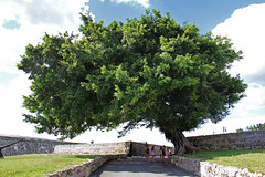Fort of Saint Charles Tree - Havana, Cuba