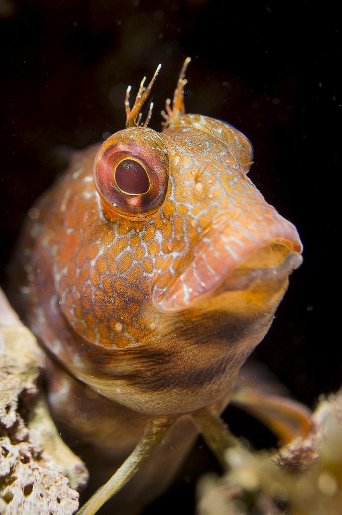 parablennius pilicornis en Fotografia Submarina12918203083_7212f95d4c_b
