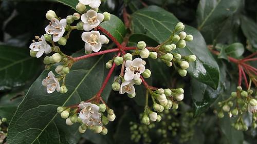 Early flowers (viburnum tinus)