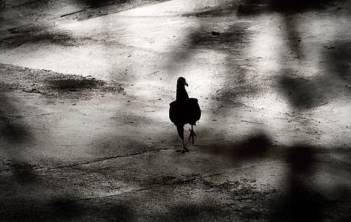 Me caen bien los gallinazos. by Byron Alaff Vélez