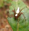 ♀ White Lynx Spider - Oxyopes shweta - 15mm in length by Dinesh Sundaravadivelu