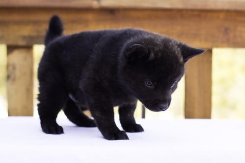Nami-Litter1-Day40-Puppy3-Male(Hazuki)-3