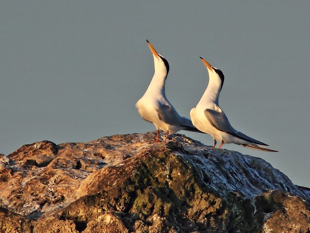 Least Terns display 2-20140406