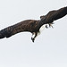 The Start of a Dive - Osprey by rivadock4