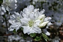 White Azelea