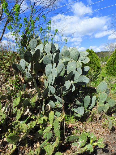 Prickly Pear in Jacksonville, Alabama