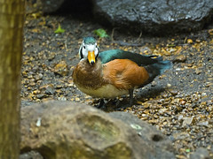 Memphis Zoo 08-31-2016 - Ringed Teal 1