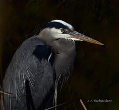 Great Blue Heron - 7