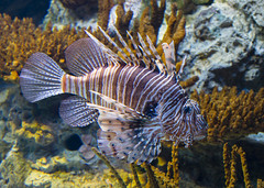 Lion Fish ( Pterois )