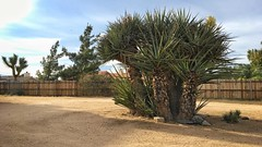did a lil #landscaping today for a local home. #joshuatree #yucca #yuccas #joshuatrees #desert #highdesert