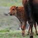 Milk Mustache - Bison Calf and Mom - 8299b+