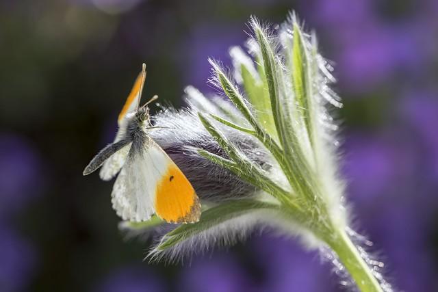 *Orange-Tip meets Pasque Flower*