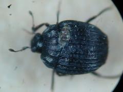 Onthophilus striatus