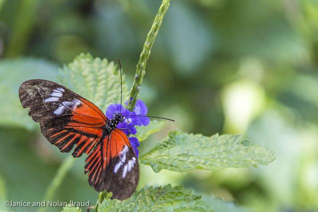 Doris Longwing Butterfly JN104526
