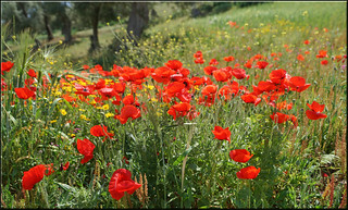 poppies of fes