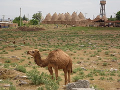 A Dromedary and Beehive Houses, Harran