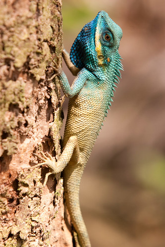 Not a chameleon, the blue headed tree agama lizard then ? Or the Calotes Bachae ?