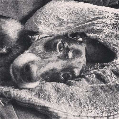 Lola #lazy #dobermanmix #rescue #adoptdontshop #dogstagram #love #dobiemix