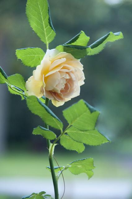 My Rose Isn't Quite Dead