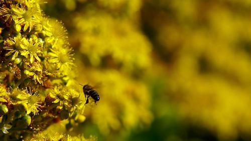 flower yellow garden succulent bokeh bee