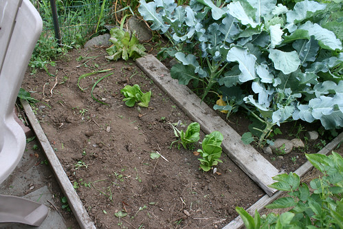 bolted escarole bed after 025