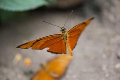 Flying Orange Butterfly