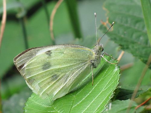 Large White - Pieris brassicae