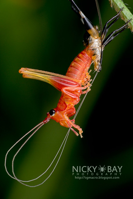 Moulting Katydid (Tettigoniidae) - DSC_1848