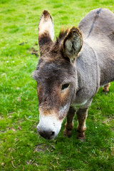 Donkey at Bunratty Folk Park