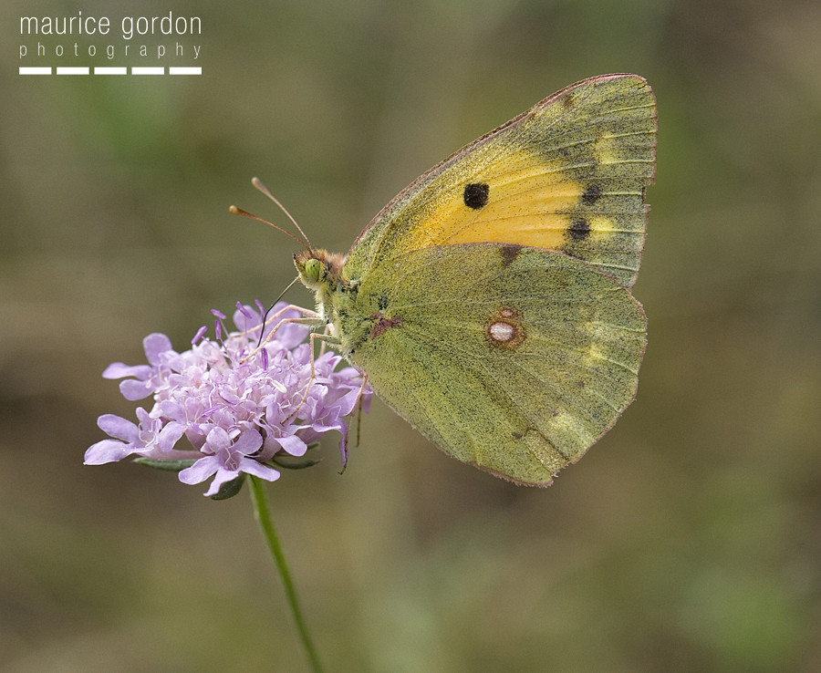 clouded-yellow_DSC4571