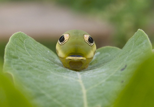 Spicebush swallowtail caterpillar. 5th instar