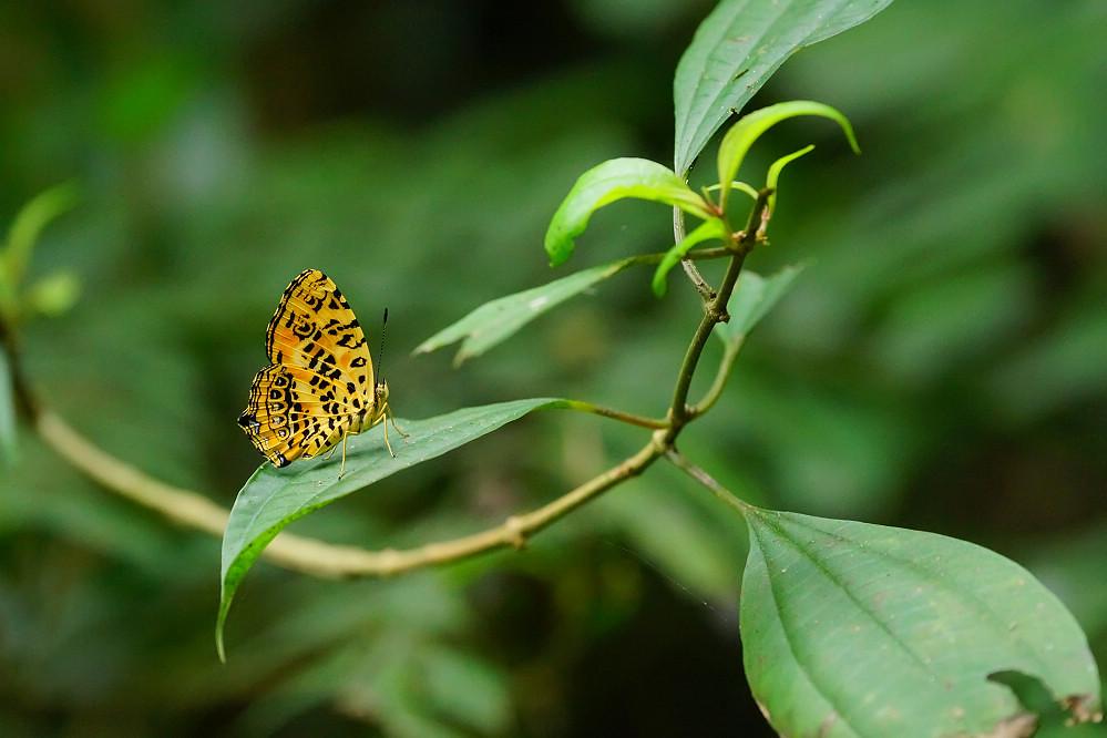 盛蛺蝶屬花豹盛蛺蝶-1