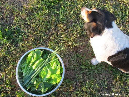 Garden greens and Bert (3) - FarmgirlFare.com