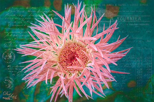Pink Gerbera with textured background image