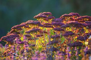 Purple Flowers at Sunset