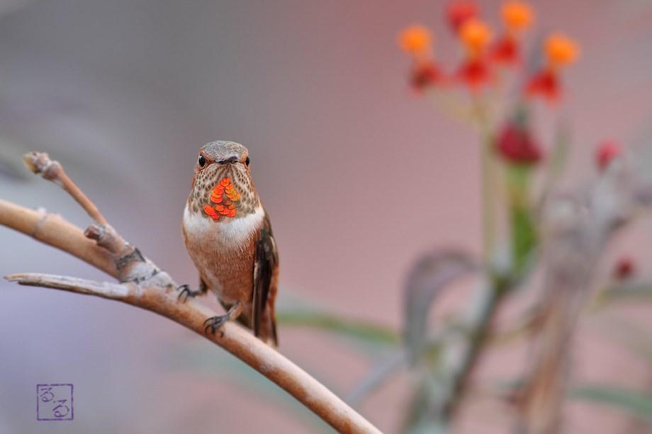 immature Allen's Hummingbird 111113