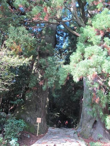 樹齢800年の「夫婦杉」~熊野古道 by Poran111