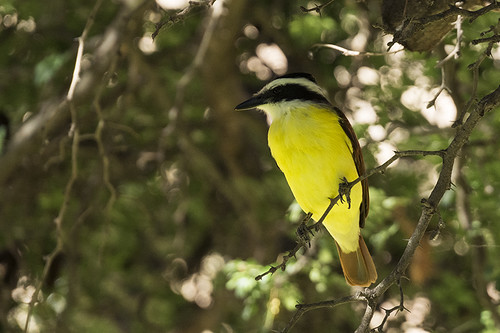 Texas: Great Kiskadee