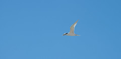 Tern flying